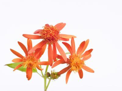 Mexican Flame Vine Flowers, Pseudogynoxys Chenopodioides
