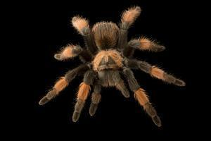 Mexican red-legged tarantula, Brachypelma emilia, at the Budapest Zoo. by Joel Sartore