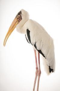 Milky stork, Mycteria cinerea, at Penang Bird Park. by Joel Sartore