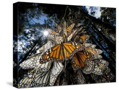 Millions of monarch butterflies travel to winter roosts in Mexico.