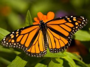 Monarch Butterfly at the Lincoln Children's Zoo, Nebraska by Joel Sartore
