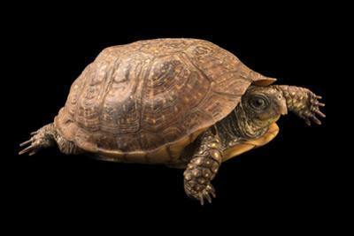 Northern spotted box turtle, Terrapene nelsoni klauberi by Joel Sartore