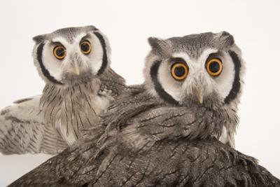 Northern White-Faced Owls, Ptilopsis Leucotis, at the Cincinnati Zoo