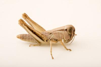 Nymph of a largeheaded grasshopper, Phoetaliotes nebrascensis by Joel Sartore