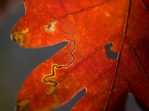 Oak Trees Reach their Peak of Fall Color by Joel Sartore