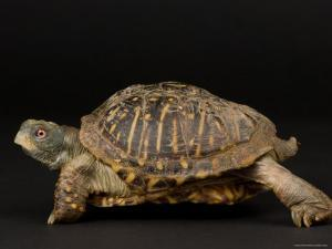 Ornate Box Turtles at the Sunset Zoo by Joel Sartore