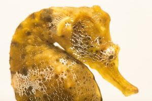 Pacific seahorse, Hippocampus ingens by Joel Sartore