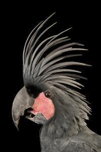 Palm cockatoo, Probosciger aterrimus, at the Houston Zoo. by Joel Sartore