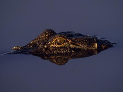 Partially Submerged Alligator in Water on a Gator Farm by Joel Sartore