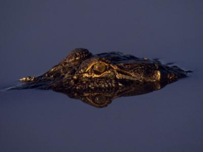 Partially Submerged Alligator in Water on a Gator Farm