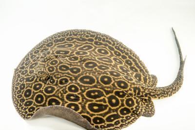 Pearl ray, Potamotrygon species by Joel Sartore