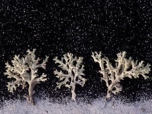 Perforate Reindeer Lichen Appear as White Trees under Snowfall by Joel Sartore