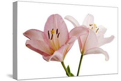 Pink Lily Flowers, Lilium Species