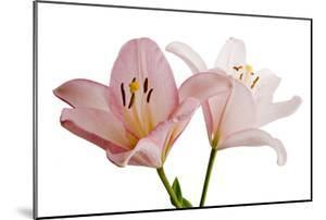 Pink Lily Flowers, Lilium Species by Joel Sartore