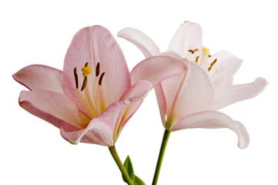 Pink Lily Flowers, Lilium Species by Joel Sartore