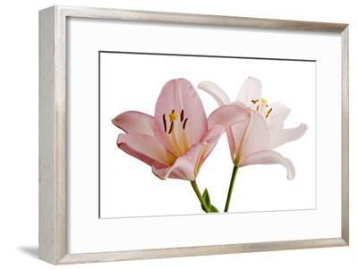 Pink Lily Flowers, Lilium Species