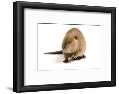 Portrait of a Beaver, Castor Canadensis.