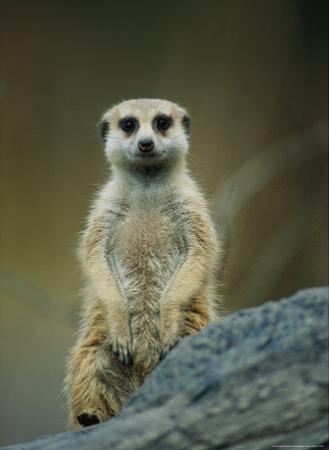 Portrait of a Captive Meerkat