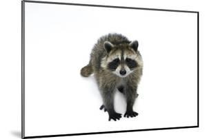 Portrait of a Young Orphaned Raccoon, Procyon Lotor. by Joel Sartore