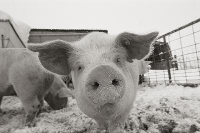 Portrait of a young pig in a snow dusted animal pen.