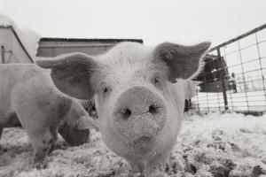 Portrait of a young pig in a snow dusted animal pen. by Joel Sartore