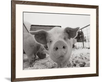 Portrait of a Young Pig by Joel Sartore