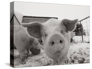 National geographic collection canvas artwork for sale posters and portrait of a young pig thecheapjerseys Gallery