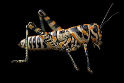 Rainbow grasshopper or barber pole grasshopper or picture grasshopper by Joel Sartore