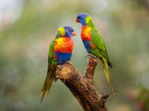 Rainbow Lorikeets, Trichoglossus Haematodus by Joel Sartore