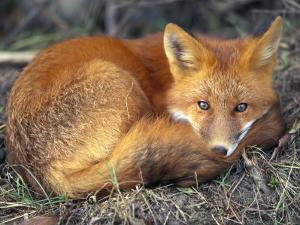 Red Fox by Joel Sartore
