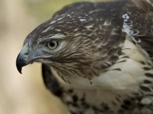 Red-Tailed Hawk by Joel Sartore