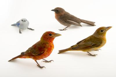 Red throated ant tanager, hepatic tanager, blue-grey tanager. by Joel Sartore