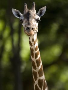 Reticulated Giraffe at the Henry Doorly Zoo in Omaha, Nebraska by Joel Sartore