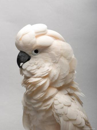 Salmon-Crested Cockatoo at the Sedgwick County Zoo, Kansas