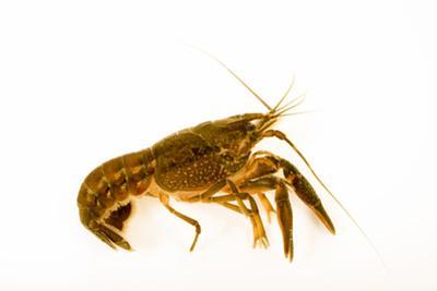 Seminole crayfish collected at Beecher Springs Run by Joel Sartore