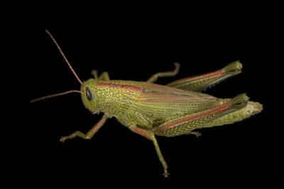 Showy grasshopper, Hesperotettix speciosus by Joel Sartore