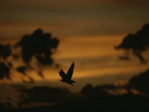 Silhouette of a Red-Tailed Hawk in Flight at Sunset by Joel Sartore