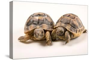 Six Month Old Greek Tortoises at Parco Natura Viva by Joel Sartore