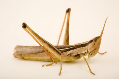 Slant faced grasshopper, Mermiria bivittata by Joel Sartore