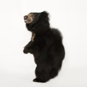 Sloth Bear, Melursus Ursinus. by Joel Sartore