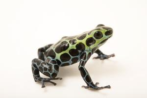 Splash-back poison frog, Ranitomeya variabilis, at the Houston Zoo. by Joel Sartore