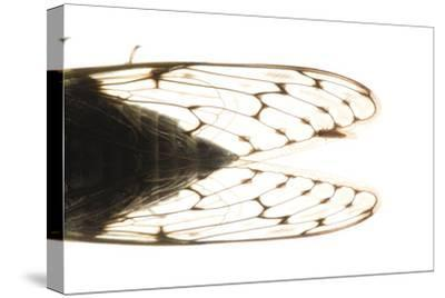 Studio Portrait of a Cicada, Tibicen Canicularis.