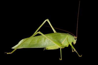 Studio Portrait of a Grasshopper. by Joel Sartore