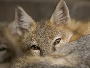 Swift Fox at the Omaha Zoo, Nebraska by Joel Sartore