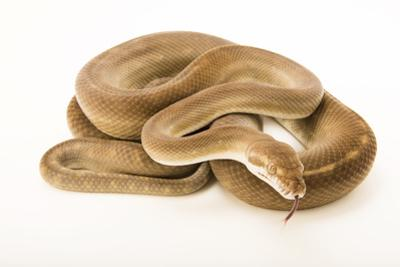 Tanimbar python from a private collection. by Joel Sartore