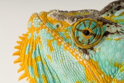 The Eye and Face of a Veiled Chameleon, Chamaeleo Calyptratus. by Joel Sartore