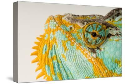 The Eye and Face of a Veiled Chameleon, Chamaeleo Calyptratus.