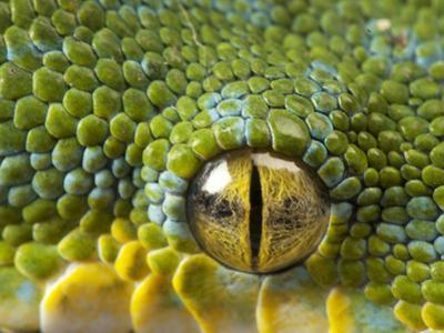 The Eye of a Green Tree Python, Morelia Viridis by Joel Sartore