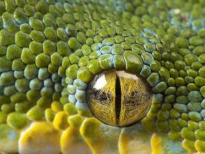 The Eye of a Green Tree Python, Morelia Viridis by Joel Sartore