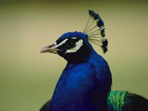 The Head of a Beautiful Blue Peacock, Pavo Sp by Joel Sartore